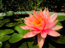 Beautiful water lily Royalty Free Stock Images