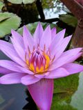 Beautiful water Lily. Purple water Lily blossom stock photos