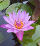 Beautiful water Lily. Purple water Lily blossom royalty free stock photo