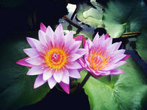 Beautiful water Lily. Taking picture of a pair of beautiful water Lily stock photography