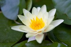Beautiful water lily Stock Photos