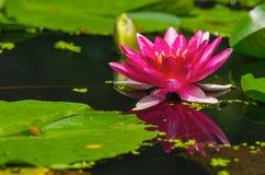 Beautiful water plant Stock Photo