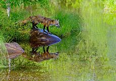 Beautiful water reflection of red fox. Royalty Free Stock Image