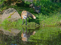 Beautiful water reflections of red fox in water. Stock Photos
