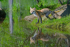 Beautiful water reflections of red fox in water. Royalty Free Stock Photo
