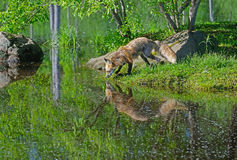 Beautiful water reflections of red fox in water. Stock Images