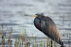 Beautiful Waterbird. Tricolored Heron standing in water. Taken at Myakka River State Park in Florida Royalty Free Stock Images