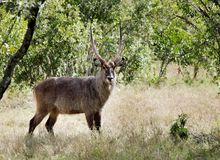 A beautiful Waterbuck in the grassland of Ol Pejeta Conservancy. A waterbuck is a large antelope Stock Photos