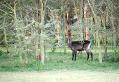 A beautiful Waterbuck in the jungle near lake Naivasha Royalty Free Stock Image