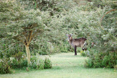 A beautiful Waterbuck peeping from the bush Stock Photos