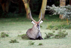 A beautiful Waterbuck resting Stock Image