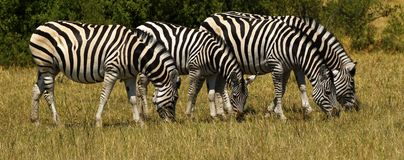 Beautiful Waterbucks And Burchell`s Zebra On The African Plains Stock Photography