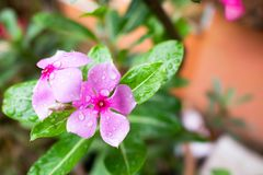 A beautiful watercress flowers after rain stock images