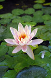 Beautiful waterlily. Stock Photos