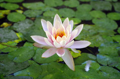 Beautiful waterlily. Royalty Free Stock Photography