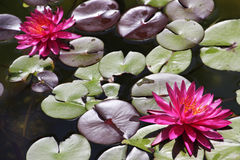 Beautiful Waterlily. Two blooming pink water lilies Stock Photos