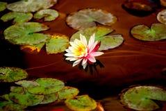 A beautiful waterlily Stock Photography