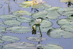 Beautiful Waterlily in dhaka bangladesh Royalty Free Stock Photo