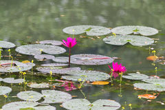 Beautiful Waterlily in dhaka bangladesh Royalty Free Stock Image