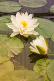 Beautiful waterlily in lake of peace Stock Images