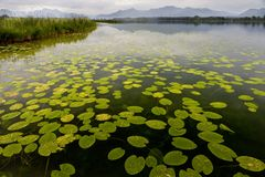 Beautiful waterlily leaves floating on a pond with the mountains in the background