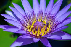 Beautiful waterlily or lotus flower with bee royalty free stock photos