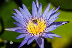 Beautiful waterlily or lotus flower with bee royalty free stock image
