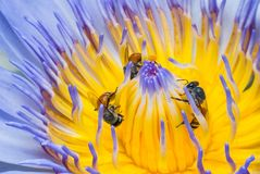 Beautiful waterlily or lotus flower with bee stock images