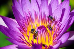 Beautiful waterlily or lotus flower with bee royalty free stock photography