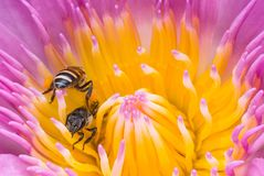 Beautiful waterlily or lotus flower with bee royalty free stock images