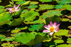 This beautiful waterlily or lotus flower is complimented stock photos