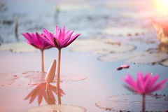 This beautiful waterlily or lotus flower is complimented by the Royalty Free Stock Photo