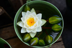Beautiful waterlily or lotus flower. Is complimented by the rich colors of the deep blue water surface Stock Image