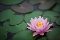 Beautiful waterlily Stock Image