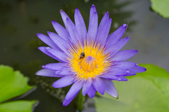 Beautiful waterlily Stock Images