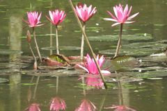 Beautiful pink waterlily in a pond royalty free stock photo