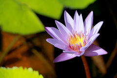 This beautiful waterlily or purple lotus flower is complimented by the drak colors of the deep blue water surface. Saturated color Royalty Free Stock Photography