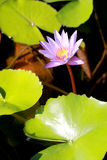 This beautiful waterlily or purple lotus flower is complimented by the drak colors of the deep blue water surface. Saturated color. S and vibrant detail make Royalty Free Stock Photography
