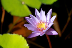 This beautiful waterlily or purple lotus flower is complimented by the drak colors of the deep blue water surface. Saturated color. S and vibrant detail make Royalty Free Stock Photos