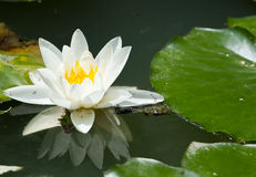 Beautiful waterlily. On reflection water Royalty Free Stock Photos