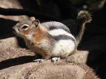 Ground squirrels of Canadian Rocky Mountains. The beautiful waterways and mountains of the canadian mountains is habitat to many local wildlife stock image