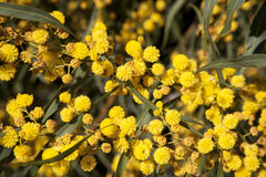 Beautiful wattle Stock Image