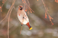 The beautiful waxwing eating an crab apples. Stock Image