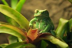 Beautiful Waxy Monkey Frog Sitting on a Plant Stock Photography