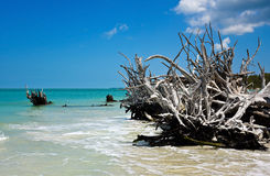 Beautiful Weathered Driftwood. On the beach of Beer Can Island Longboat Key Florida Stock Photography