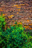 A beautiful, weaving tropical plant envelops a wall of red brick large size, the photo is suitable for the backgroun.  Background. Royalty Free Stock Photography