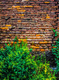 A beautiful, weaving tropical plant envelops a wall of red brick large size, the photo is suitable for the backgroun.  Background. A beautiful, weaving tropical Stock Photography