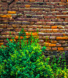 A beautiful, weaving tropical plant envelops a wall of red brick large size, the photo is suitable for the backgroun.  Background. A beautiful, weaving tropical Royalty Free Stock Images