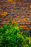 A beautiful, weaving tropical plant envelops a wall of red brick large size, the photo is suitable for the backgroun.  Background. Stock Photos