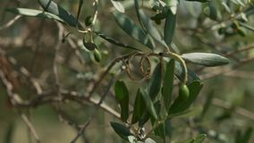 Beautiful wedding rings on the branches of olive tree.  stock footage